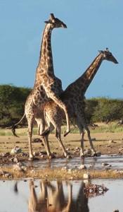 Ett suget giraff par