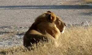 En lejon hane